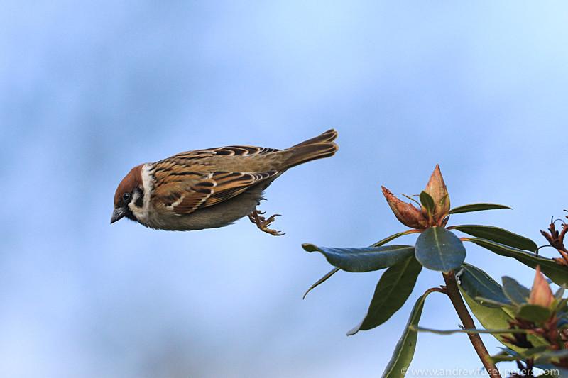 tree sparrow take off 1 - Garden Birds