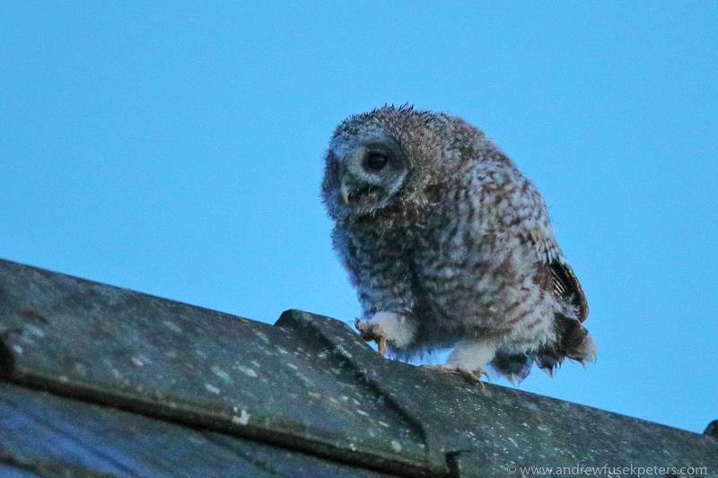 tawny chick dusk walk - UK Owls