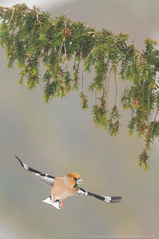 Hawfinch in flight - UK Birds