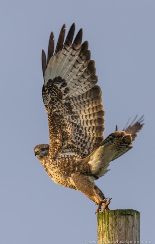 Buzzard take off 1 - UK Birds of Prey