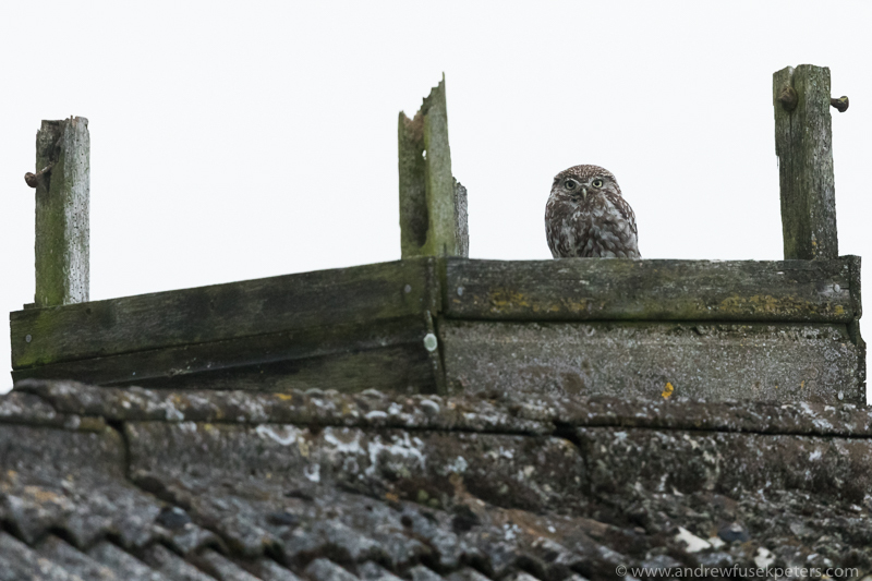 Little owl on farm building roof - UK Owls