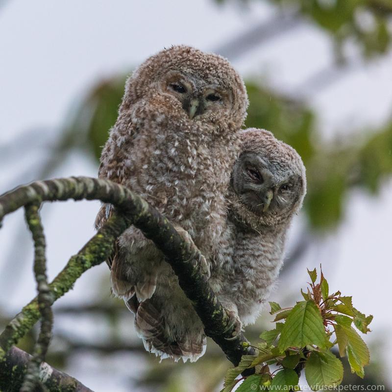 tawny chicks portrait - UK Owls