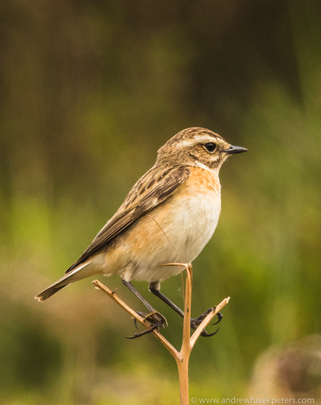 Female whinchat portrait Long Mynd - UK Birds