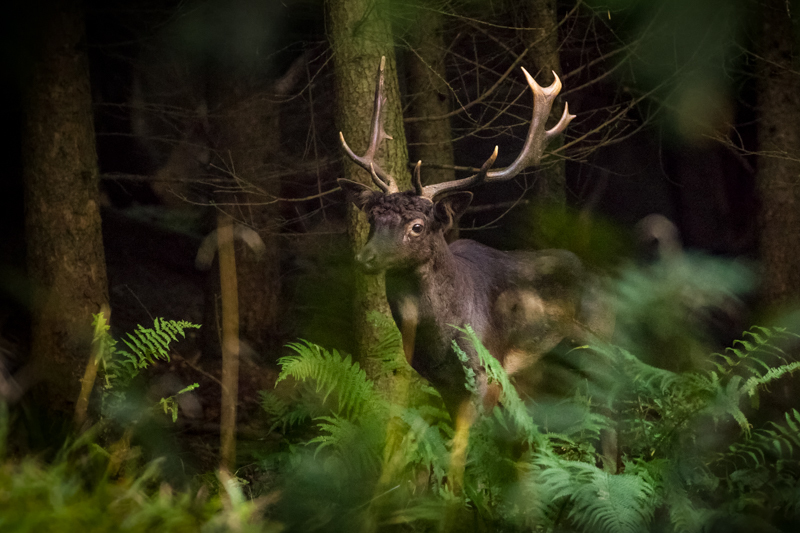 Long-haired fallow buck emerging from Mortimer Forest - Showcase
