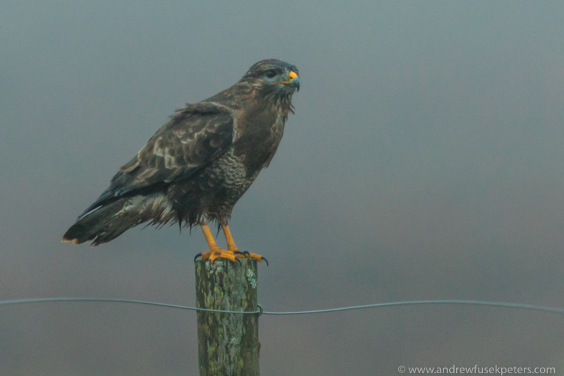 Buzzard in the mist Long Mynd - UK Birds of Prey