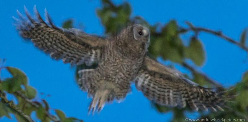 Tawny chick dusk flight - UK Owls
