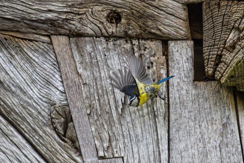 Blue tit leaving nest - UK Birds