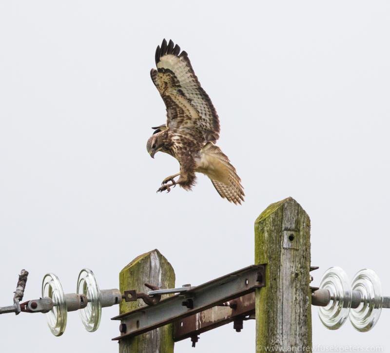 Buzzard landing - UK Birds of Prey