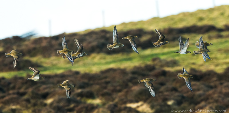 Golden plovers on Corndon Hill - UK Birds
