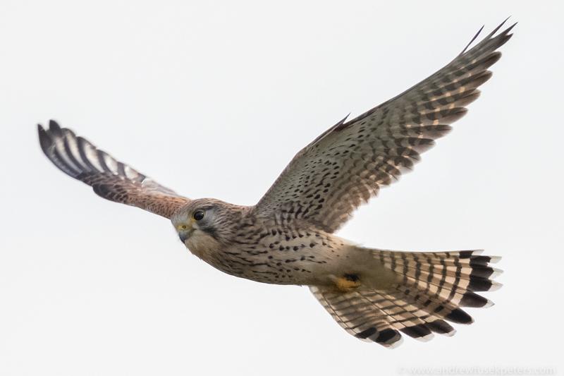 Kestrel Bury Ditches - UK Birds of Prey