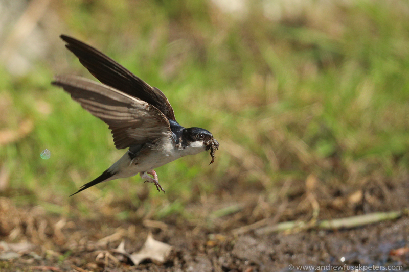 housemartins mud gathering 4 - Garden Birds