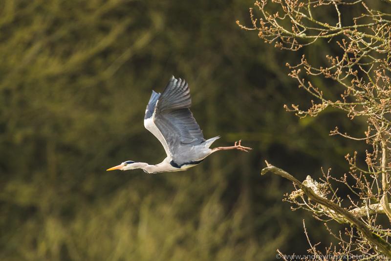 Heron launch, Walcot - UK Birds