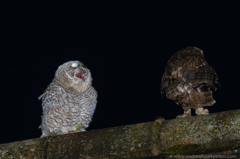 Tawny chick and mum 1 - UK Owls