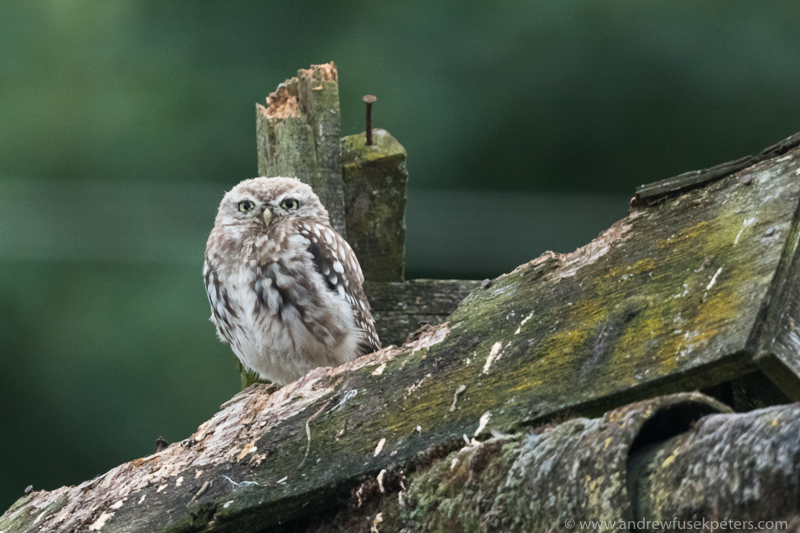 Little owl perch 2 - UK Owls