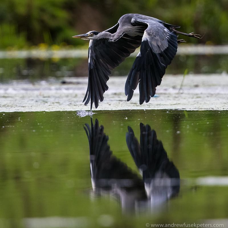 heron reflected Walcot - UK Birds