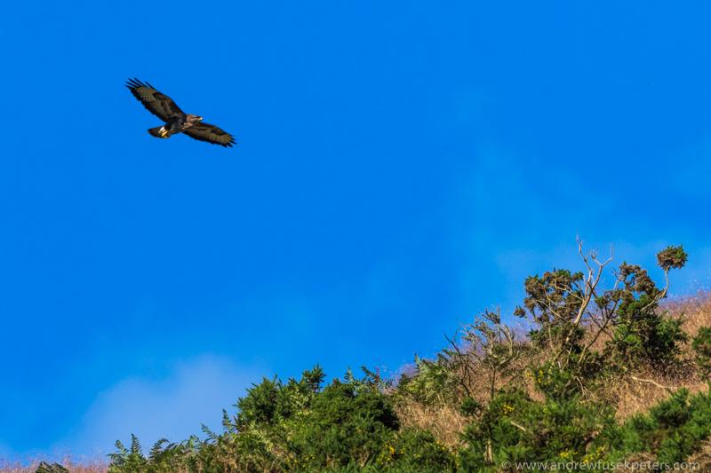 Buzzard on long mynd ridge - UK Hawks