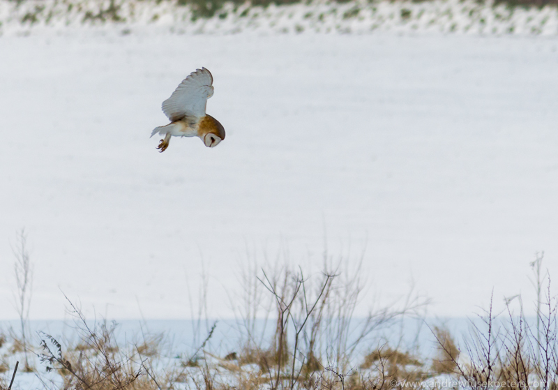 barn owl hovering in snow 3 - UK Owls