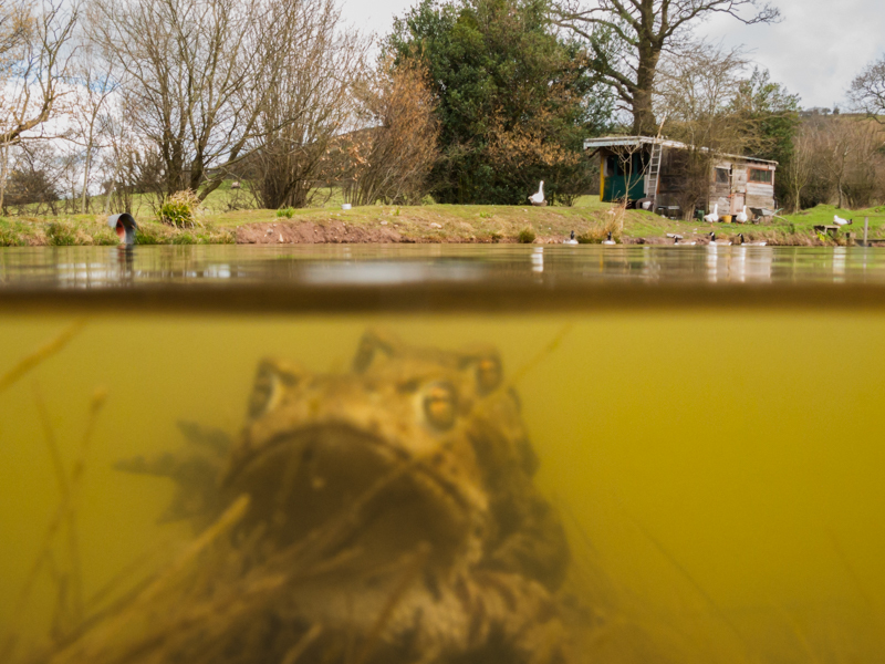 Mating toads - Wide-angle Wildlife