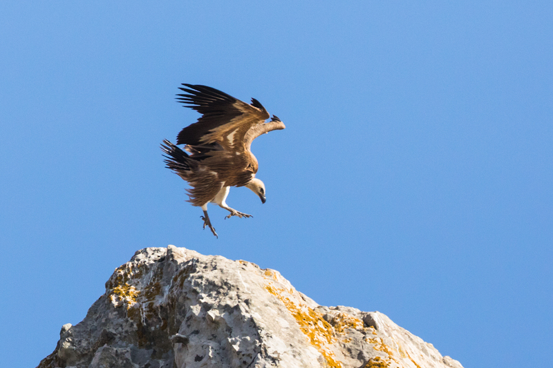 Griffon Vulture Colony near Tarifa-1 - Spain and Vulture/Eagle Migration October 2017