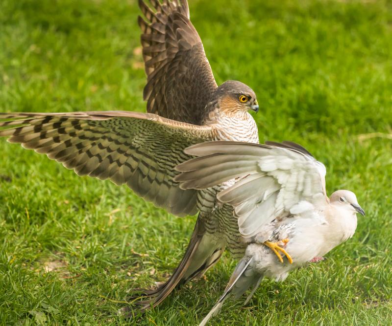 Sparrowhawk taking a collared dove in our garden - Showcase