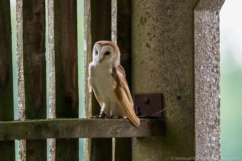 Barn owl in barn - UK Owls