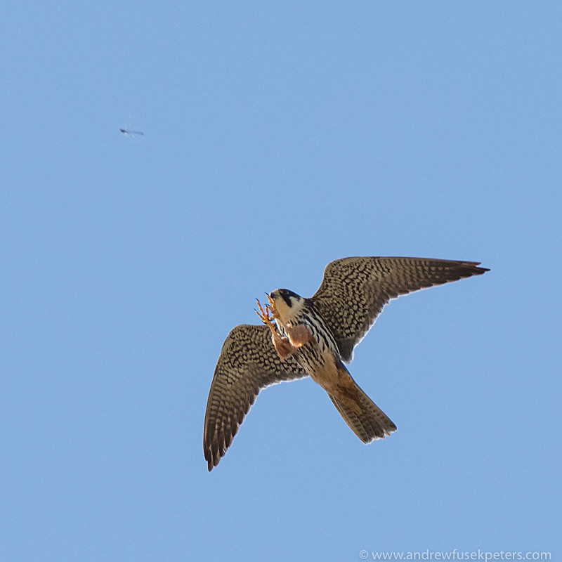 hobby catching a damsefly on Whixall - Olympus Wildlife