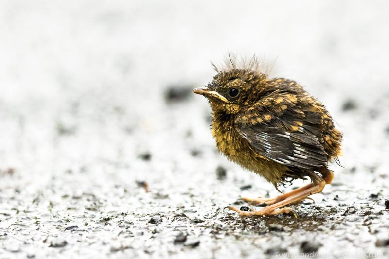 Robin fledgling 1 - Garden Birds