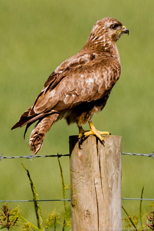buzzard perch 1d-45 - UK Hawks