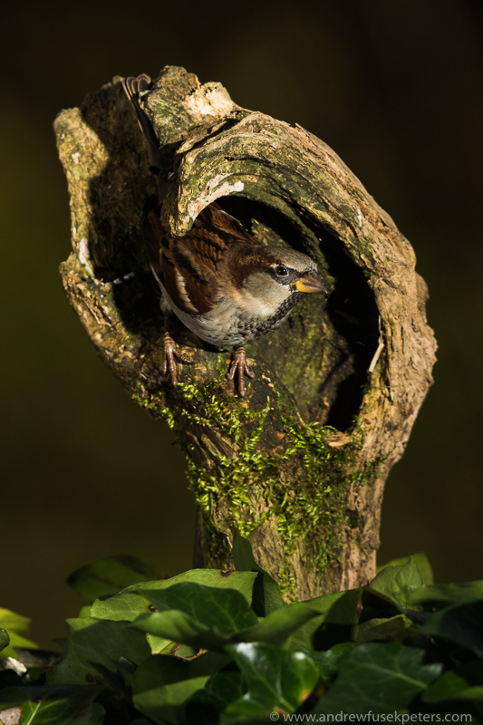 sparrow portrait - Garden Birds