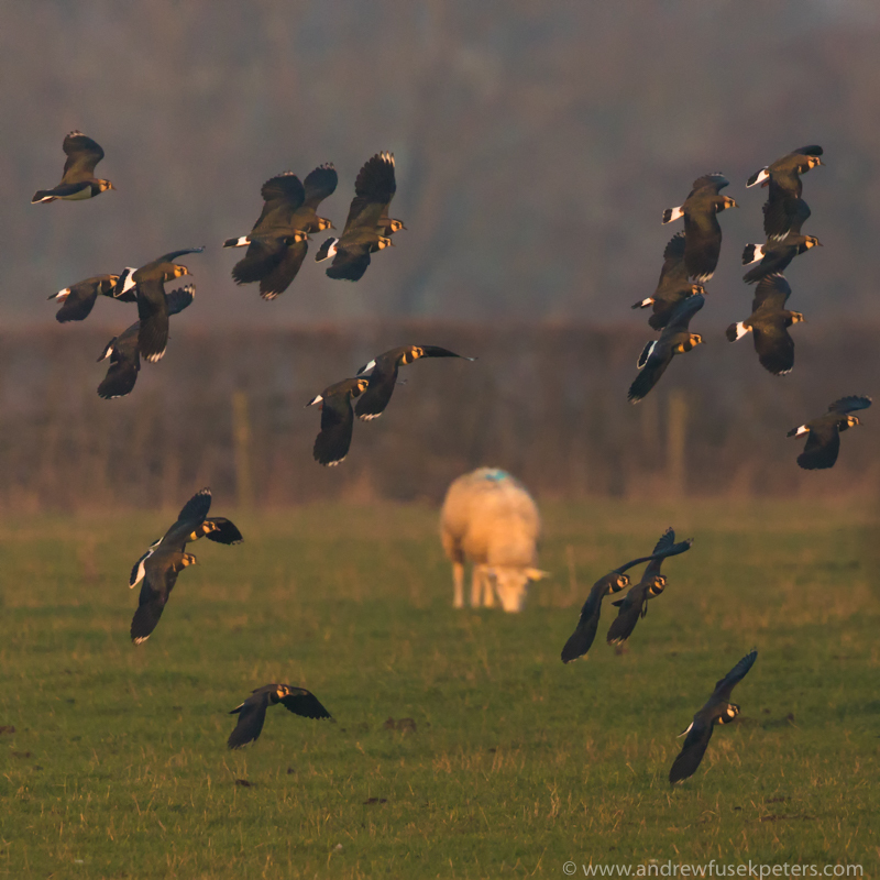 Lapwings at dusk - The Hill & Vale of Home
