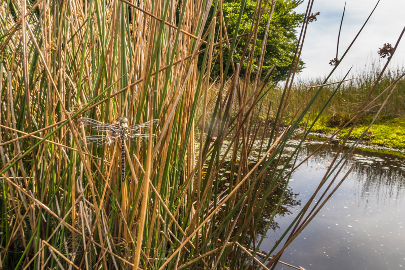 Newly hatched dragonfly Long Mynd - Wide-angle Wildlife