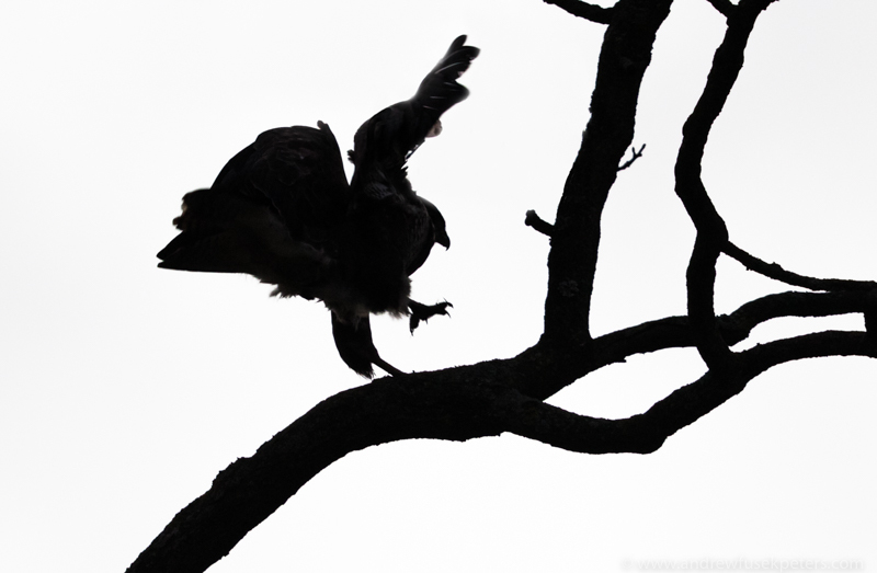 Buzzard silhouette - UK Birds of Prey