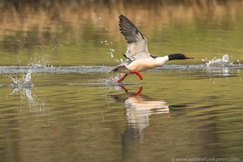 Goosander take-off - UK Birds