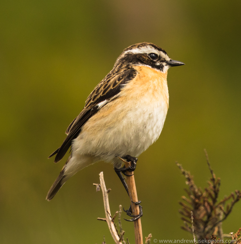 Male whinchat Long Mynd 2 - UK Birds