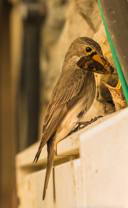Flycatcher with butterfly - Garden Birds