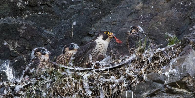 regrine chicks on nest Wrekin public site 2 - UK Hawks