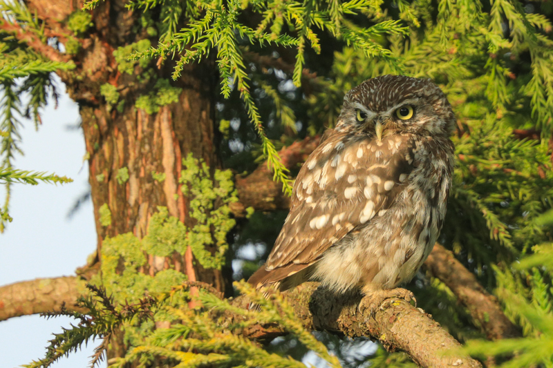 Little owl tree portrait - UK Owls