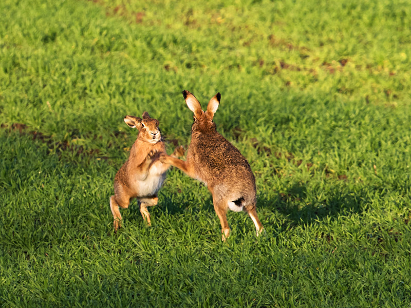 boxing hares - Hares