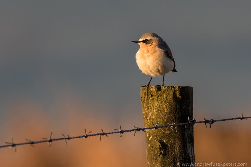 Wheatear at sunrise, Stiperstones - UK Birds