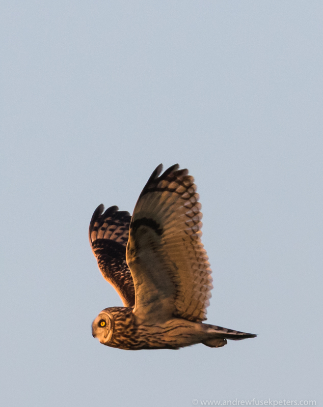 short eared owl sunset 2 - UK Owls
