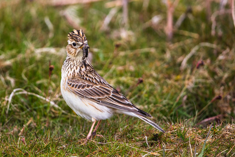 Male skylark with crest raised and worm - Wilderland, Wildlife & Wonder from the Shropshire Borders