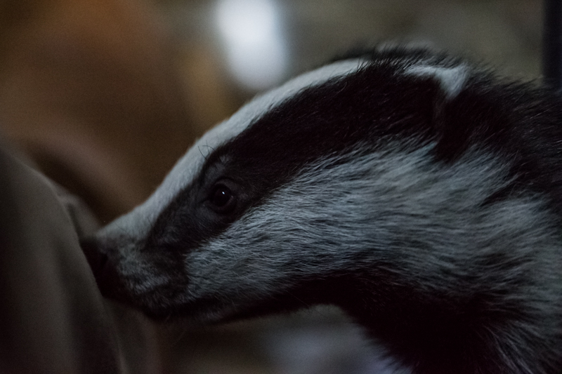 Orphan Badger - Cuan Wildlife Rescue