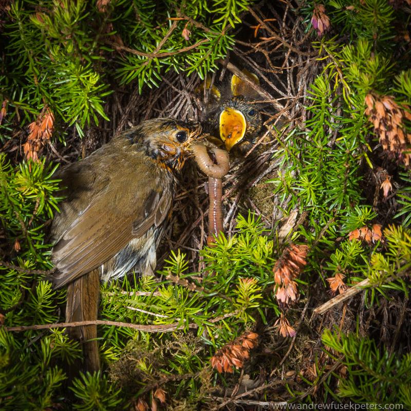 Robin at the nest 1 - Garden Birds