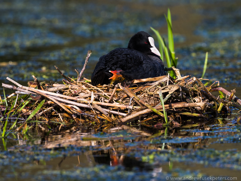 Coot and chicks at Walcot Lake, Shropshire - UK Birds