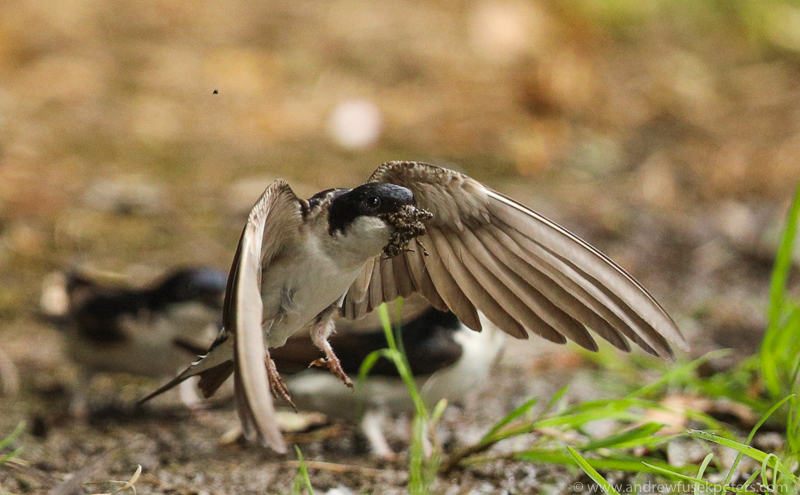 House martins mud gathering 5 - Garden Birds