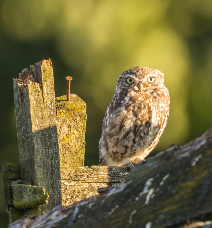 Little owl in lovely light - UK Owls