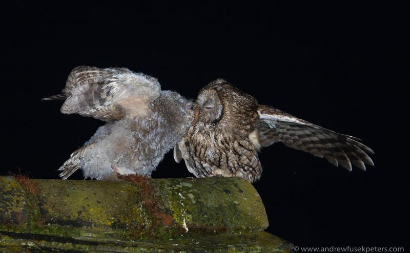 Tawny chick and mum 4 - UK Owls
