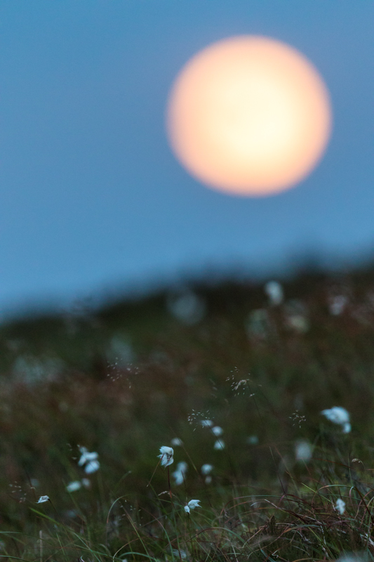 Full moon over cotton grass, Stiperstones - Moon