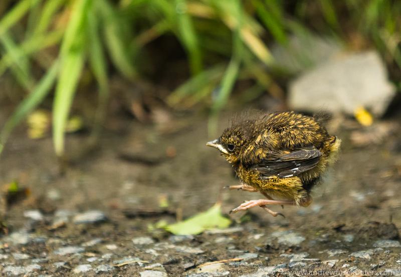 Robin fledgling jumping 2 - Garden Birds