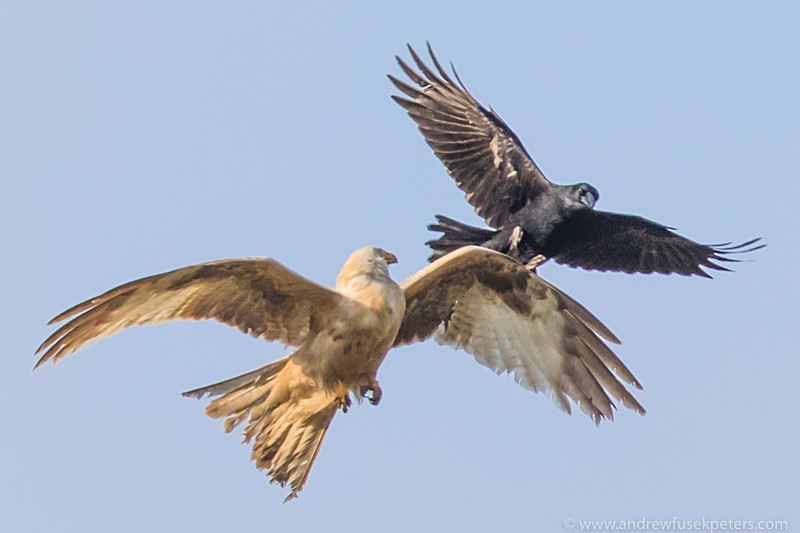 Leucistic red kite mobbed by crow, Stiperstones - Upland, Shropshire's Long Mynd & Stiperstones